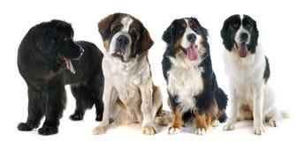 Cães da montanha Foto de Stock Royalty Free