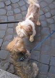 Cães da reunião Fotografia de Stock Royalty Free