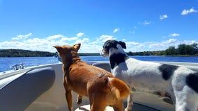 Cães de Ahoi a bordo Imagem de Stock Royalty Free