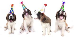 Cães de Bernard de Saint do canto que comemoram Fotografia de Stock