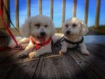 Cães de Bichon Frise fotos de stock royalty free