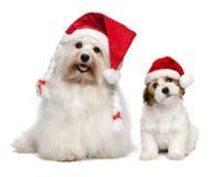 Cães de Bichon Havanese do pai e do filho em chapéus do Natal Fotografia de Stock Royalty Free