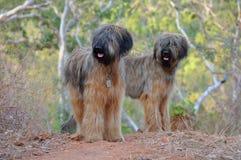 Cães de Briard imagem de stock royalty free