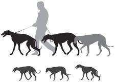 Cães de cão caminhada da caça, caminhadas do galgo Imagens de Stock