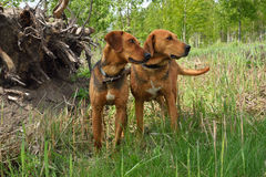 Cães de caça Fotos de Stock Royalty Free
