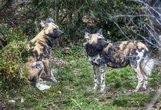 Cães de caça africanos 2 Imagem de Stock Royalty Free