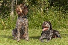 Cães de caça mais velhos e mais novos Fotografia de Stock Royalty Free