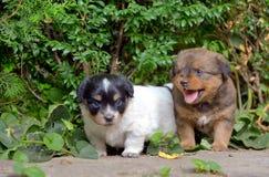 Cães de cachorrinho chineses Foto de Stock Royalty Free