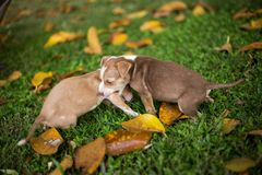 Cães de cachorrinho do bebê que jogam com irritado fotos de stock
