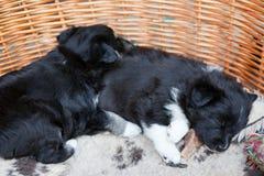 Cães de filhote de cachorro do sono Imagens de Stock Royalty Free