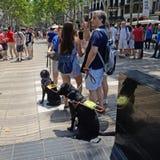 Cães de funcionamento para as cortinas, Barcelona, Tom Wurl Fotografia de Stock