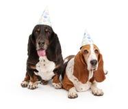 Cães de Hound do Basset que desgastam chapéus do aniversário foto de stock