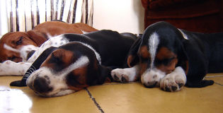 Cães de hound do Basset que sleepping fotografia de stock