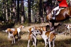 Cães de Hound do sangue Foto de Stock Royalty Free