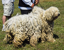 Cães de Komondor Fotos de Stock
