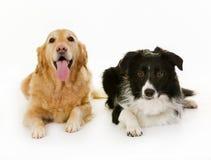 Cães de Labrador e de border collie fotos de stock royalty free