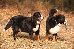 Cães de montanha bernese lindos que estão na floresta do outono Foto de Stock