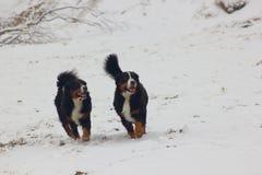 Cães de montanha de Bernese na neve imagem de stock
