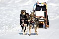 Cães de pequeno trenó na competência da velocidade Fotografia de Stock Royalty Free