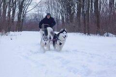 Cães de pequeno trenó na neve imagem de stock