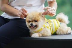 Cães de Pomeranian Fotos de Stock