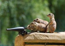 Cães de pradaria que vão à guerra com um canhão imagens de stock