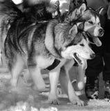 Cães de puxar trenós Imagem de Stock Royalty Free