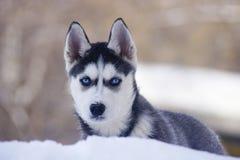 Cães de puxar trenós Imagem de Stock