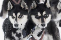 Cães de puxar trenós Fotografia de Stock Royalty Free