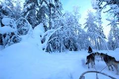 Cães de puxar trenós em Lapland Imagens de Stock Royalty Free