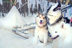 Cães de puxar trenós, Malamutes Yakut que passam o tempo fora em Lapland Finlandia Foto de Stock
