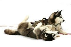 Cães de puxar trenós na neve imagens de stock