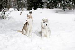 2 cães de puxar trenós na neve Cão e cachorrinho grandes Fotografia de Stock Royalty Free