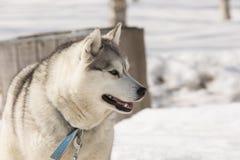 Cães de puxar trenós no berçário para cães em Kamchatka Fotografia de Stock