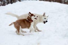 Cães de puxar trenós pequenos que jogam na neve Fotos de Stock