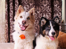 Cães de sorriso Imagem de Stock