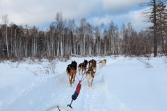 Cães de trenó Imagens de Stock Royalty Free