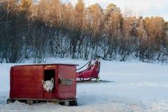 Cães de trenó Foto de Stock Royalty Free