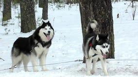 Cães de trenó cão de puxar trenós e malamute vídeos de arquivo
