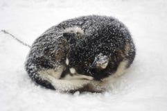 Cães de trenó da raça do cão de puxar trenós Siberian Fotografia de Stock Royalty Free
