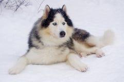 Cães de trenó da raça do cão de puxar trenós Siberian Foto de Stock Royalty Free