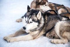 Cães de trenó que sentam-se na neve fotografia de stock