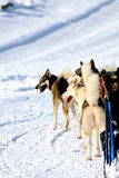 Cães de trenó roncos Fotografia de Stock Royalty Free