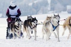 Cães de trenó roncos que correm na neve Imagens de Stock