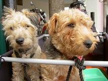Cães de viagem Fotos de Stock Royalty Free