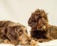 Cães desgrenhado fotografia de stock royalty free