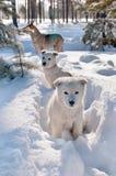 Cães dispersos Fotografia de Stock Royalty Free