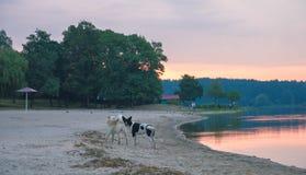 cães dispersos na praia que joga ao redor Imagem de Stock Royalty Free