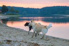 cães dispersos na praia que joga ao redor Imagem de Stock