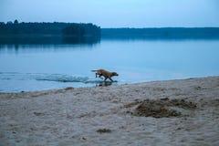 cães dispersos na praia que joga ao redor Foto de Stock Royalty Free